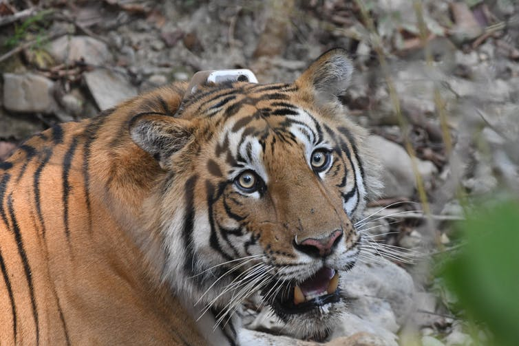 GPS tracking could help tigers and traffic coexist in Asia